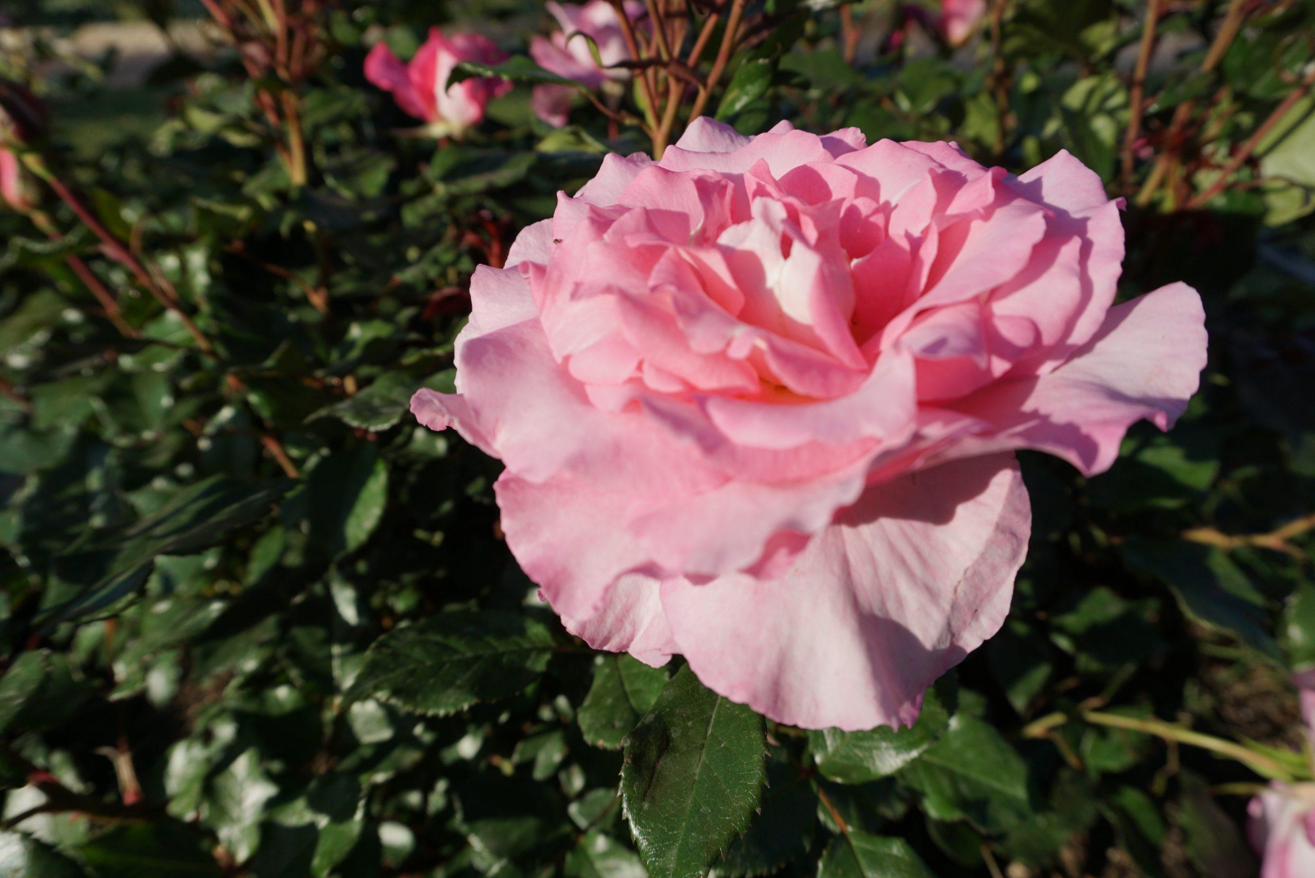premio rosa roseto comunale